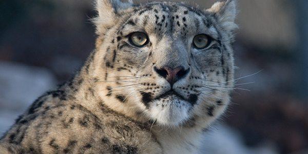 Novel DNA test aids snow leopard conservation