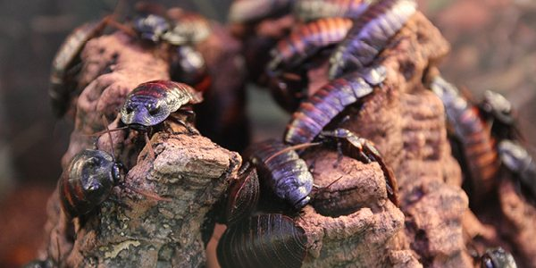 DNA proves that cockroaches can survive anywhere