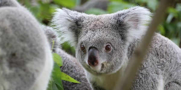 How DNA tests could save Koalas
