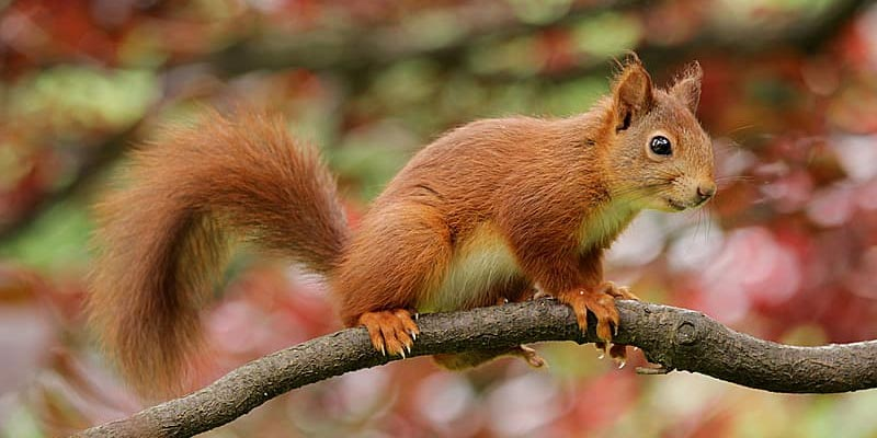 Mission to save red squirrels by altering DNA of rival greys